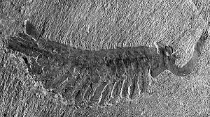 cambrian invertebrata