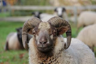 Shetlandbock