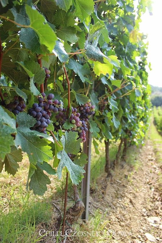 winnica w Toskanii