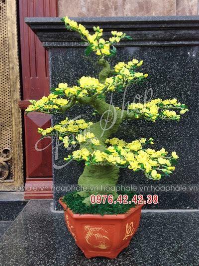 Goc bonsai cay hoa mai tai Bach Mai