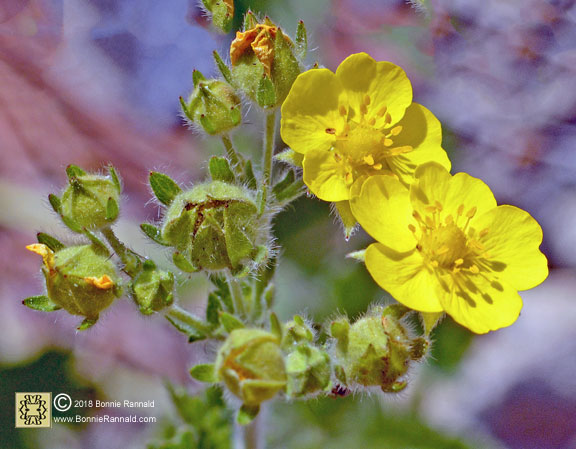 Five Finger Cinquefoil, Potentilla erecta