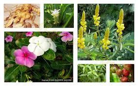 tentu sajanya anda mesti juga mengetahui apa pengertian obat herbal Pengertian Tanaman Obat Secara Umum