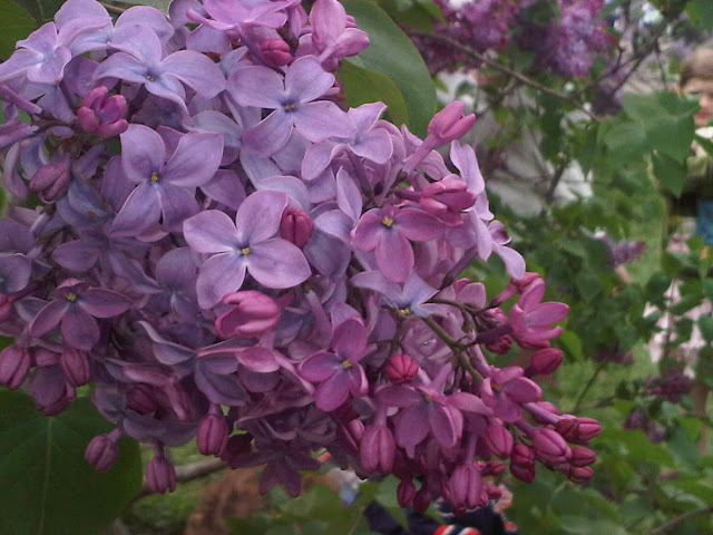Lilacs at the Arnold Arboretum  © DFries