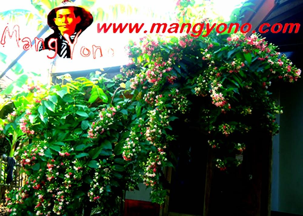 Bunga Melati Merah, Melati Belanda , Melati India, Jasmine sambac ditanam dan dirambatkan didepan pintu dapur Rumah saya