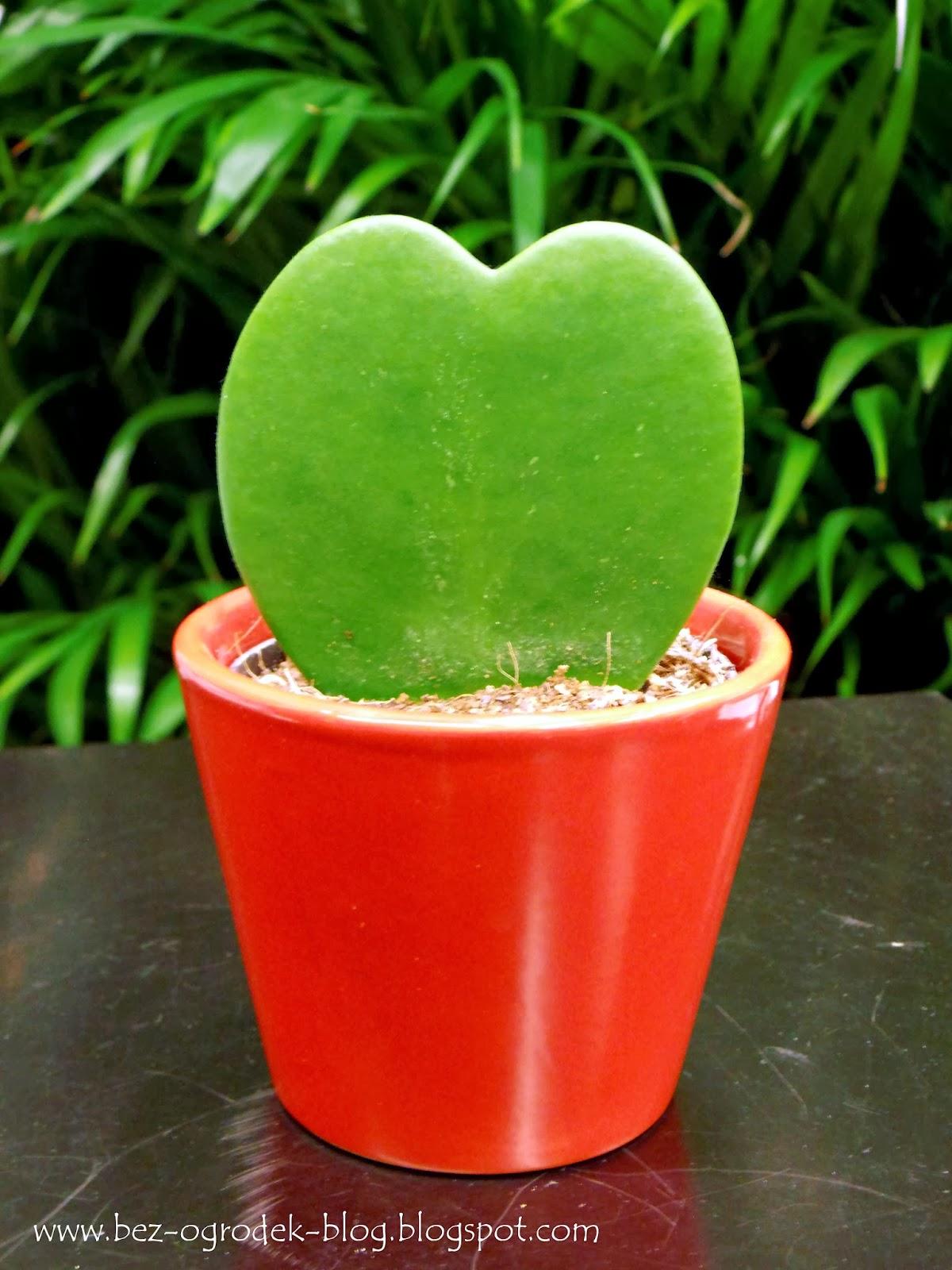 7fbf7a9a47f1e6 Największym powodzeniem cieszą się oczywiście kwiaty cięte, ale jest też  taki gatunek, którego odcięte i ukorzenione SERCA to hit wśród roślin  doniczkowych.