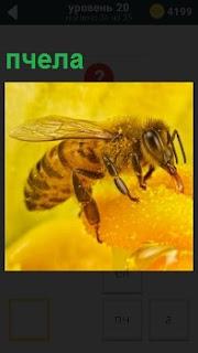 На цветке желтого цвета собирает нектар пчела, готовит отнести урожай в свой домик улей