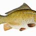 Inilah Manfaat Ikan Mas Bagi Kesehatan Tubuh Yang Perlu Diketahui