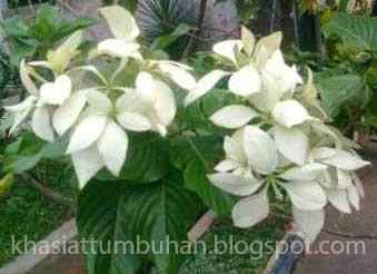 Manfaat Tanaman Nusa Indah Putih