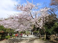 源氏山の桜