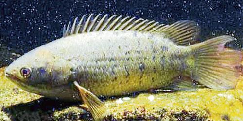 Ikan Puyu Untuk Elak Pukau