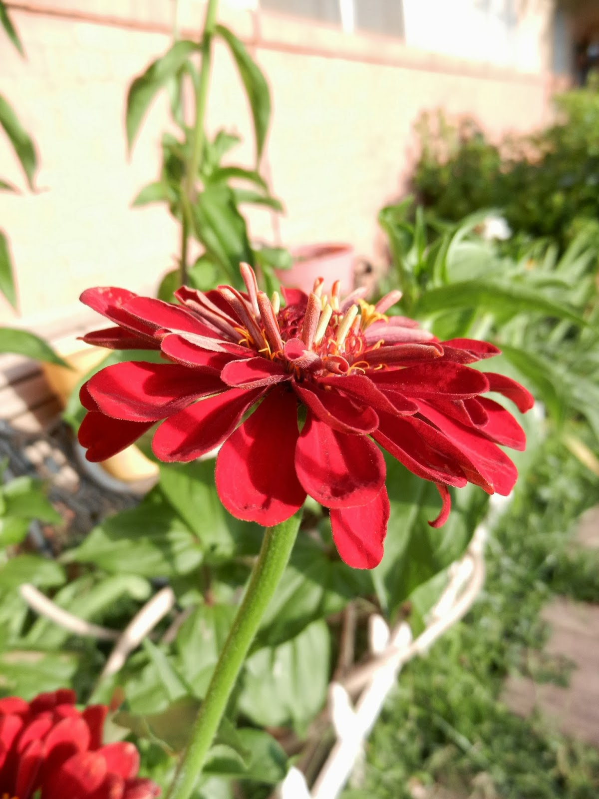 autumn zinnias picture