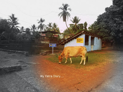 Cow grazing at Trichambaram temple, Kannur- Kerala