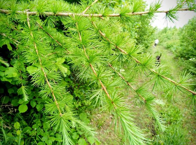 Curra forest, Connemara