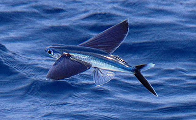 Animals Begining with F - Flying Fish