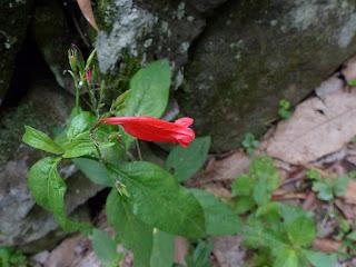 Ruellia brevifolia - Ruélie à feuilles courtes