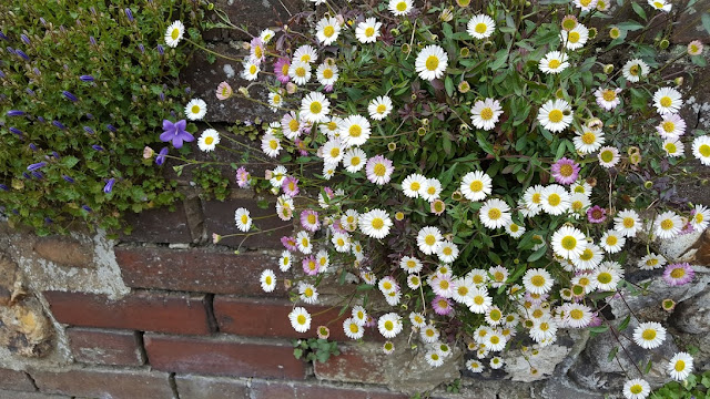 Brachyscome in bloom on a wall