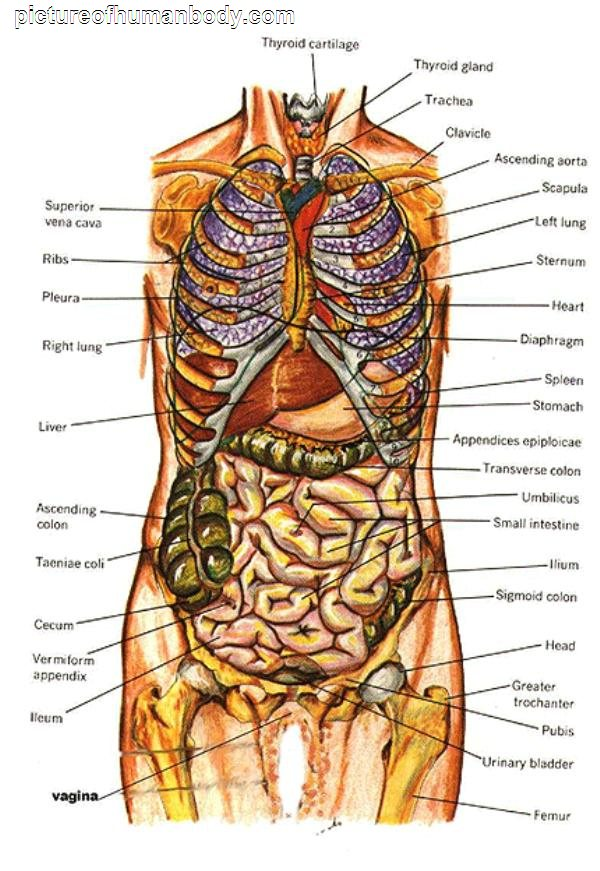 Internal Organs Diagram