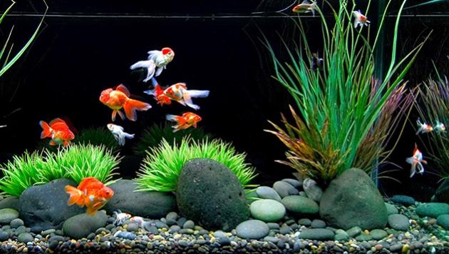 Tips Cara Memelihara Ikan Mas Koki Di Akuarium Bulat Budidaya Ikan Mas Koki