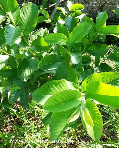 Psidium guajava, Guava leaves