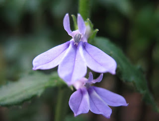 Using Georgia Native Plants: Lobelia – Jewel of the Late ...