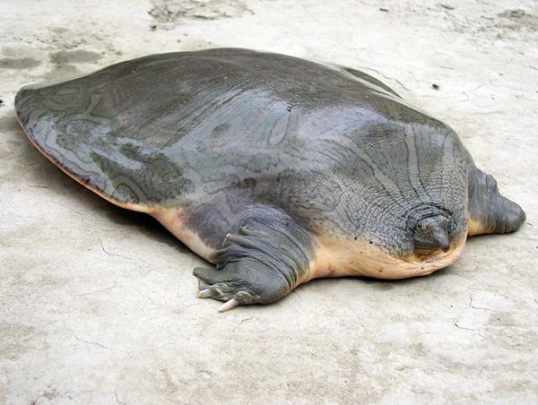 Soft shell turtle neck - photo#47