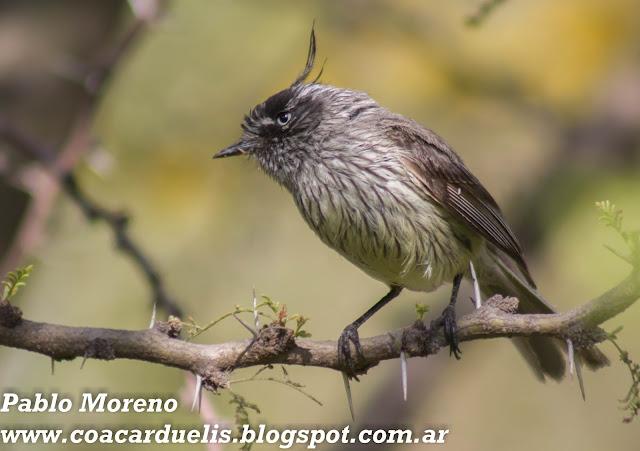 "alt=""cachudito pico negro,Anairetes parulus,torito,aves de Mendoza"""