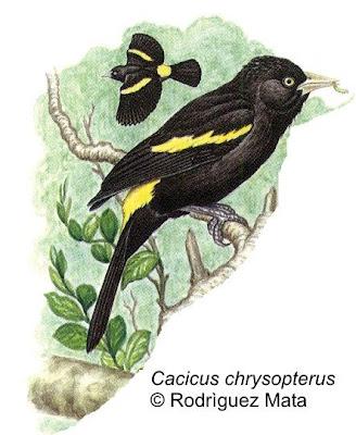 Boyero ala amarilla Cacicus chrysopterus