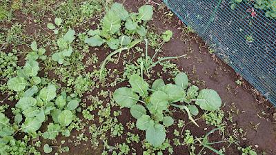 植え替え前の茎立菜。ニンニクの邪魔をしています。
