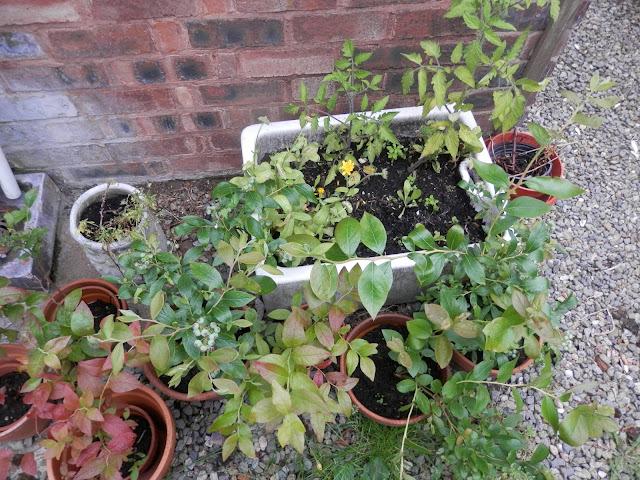 My suburban, polyculture, edible garden, June 2016.  secondhandsusie.blogspot.com #garden #gardenblogger #edible #polyculture