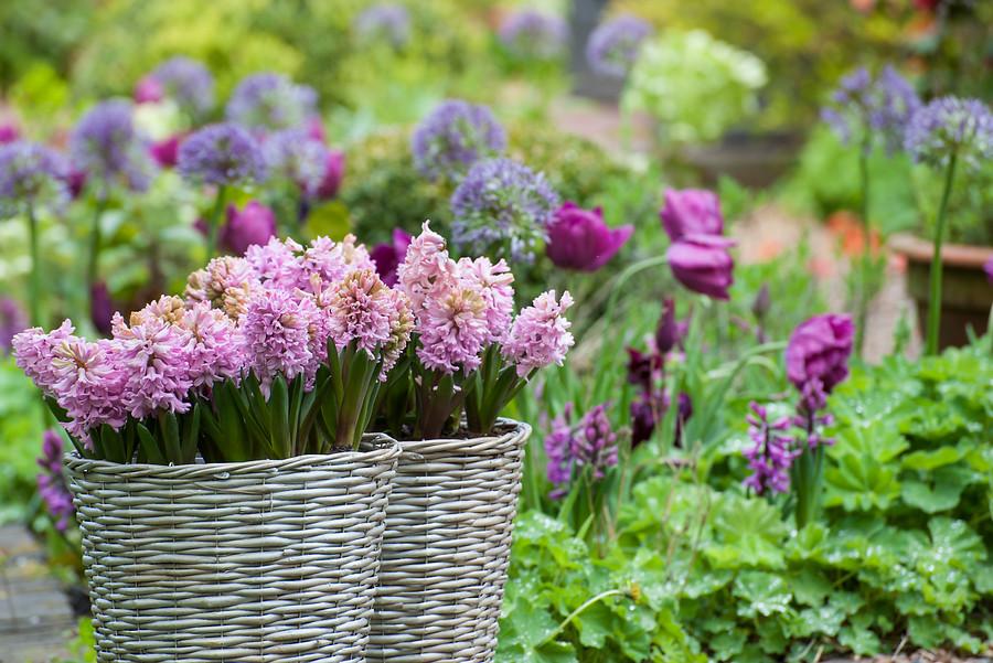Cestas blancas con flores de jacintos color rosas y flores de allium color azul al fondo