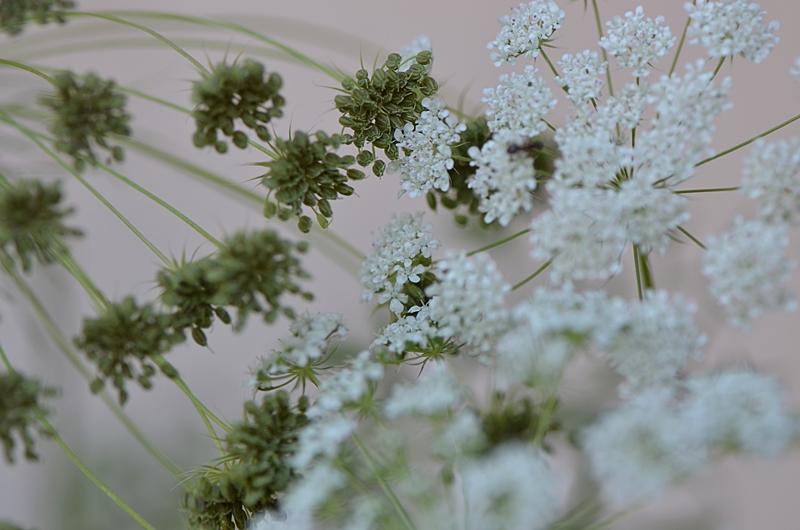 nature fleur jardin poesie reve ombelle