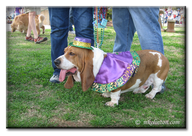 Bentley Basset Hound dressed for Mardi Gras copyrighted mkclinton