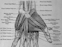 Hand Muscle Diagram