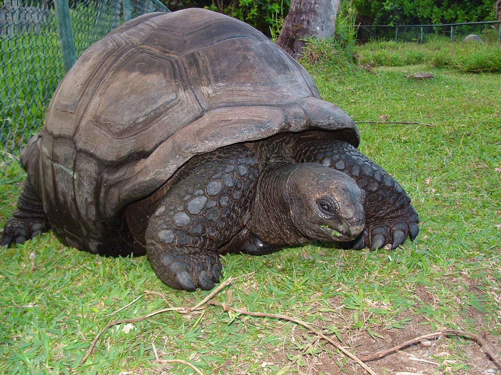 Seychelles Mahè Baia Lazare tartaruga