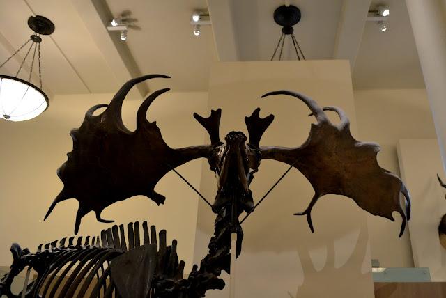 Ірландський олень. Американський музей природознавства, Нью-Йорк(American Museum of Natural History, NYC)