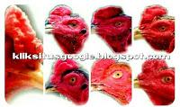 Ciri  Kualitas Jengger Ayam Petarung Terhebat Bermental Baja