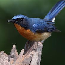 Cara Merwat Burung Tledekan Yang Macet Bunyi