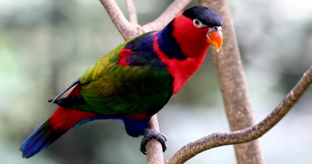 Tentang Burung Nuri Kepala Hitam Disertai Gambar Dan Videonya Hobinatang