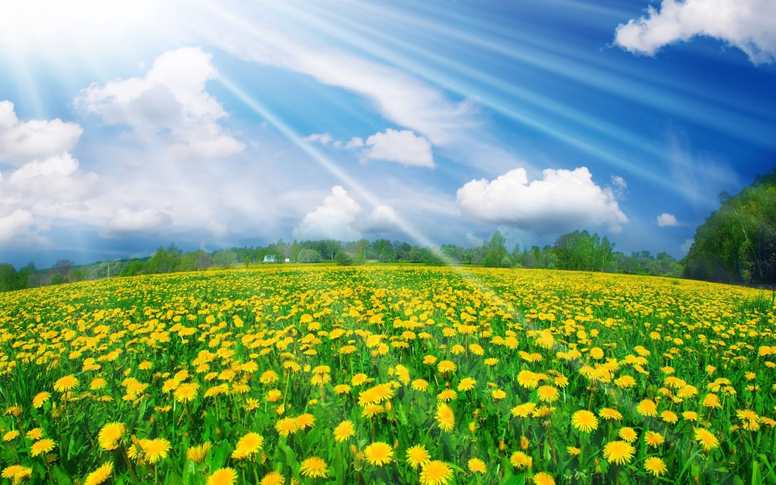 Hình nền cánh đồng hoa cúc vàng đẹp trong ánh nắng