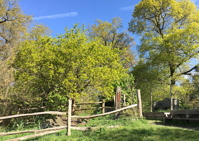 The Wilberforce Oaks, near Keston.  4 May 2016.