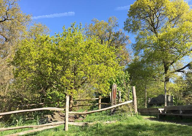 The Wilberforce Oaks, near Keston.  4 May 2016.