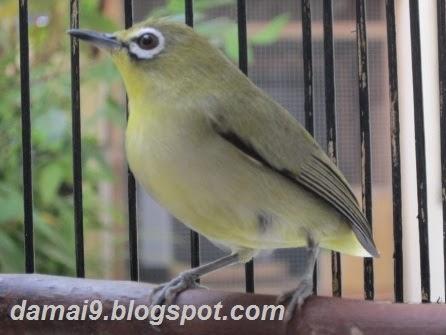 Tips Cara Merawat Burung Pleci Cici Kaca Mata Agar Rajin Berkicau Gacor Dan Cepet Ngriwik Hobi Si Petani