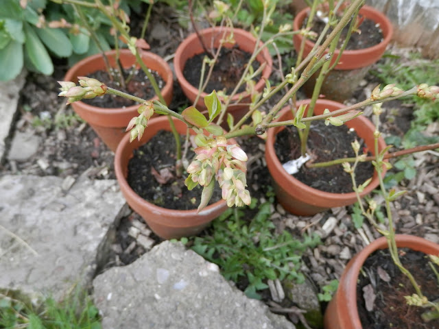 Garden, April 2016.  secondhandsusie.blogspot.com #ukgardener #gardenblogger