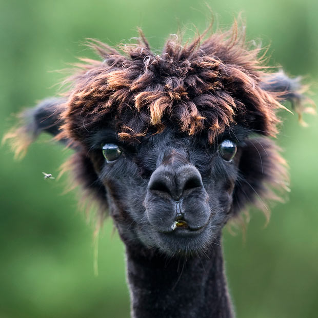 Funny Alpaca New Nice Pictures/Photos 2012
