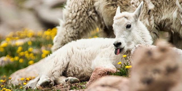 Mountain Goat, Mount Evans