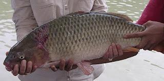 Umpan-Ikan-Tombro-Lomba