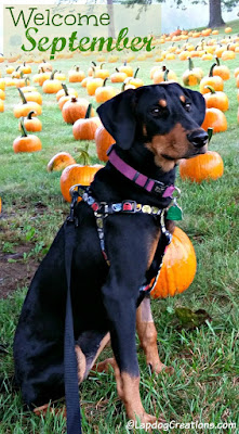 doberman mix puppy in a pumpkin patch