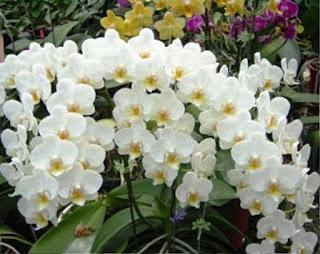 Kumpulan Bunga Anggrek Bulan