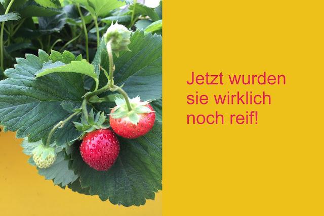 Reife Erdbeeren Wädenswil 6