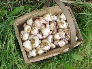 garlic, homegrown, trug